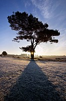 SCOT'S PINE Pinus sylvestris at sunrise. Bratley View. New Forest National Park. Hampshire. England
