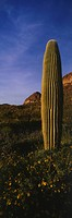 Saguaro Cactus. Organ Pipe Cactus National Monument. Arizona. USA
