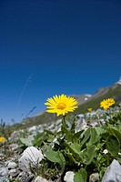 Switzerland, Graubünden, Albula_pass, alpine flowers, Doronicum, Doronicum grandiflorum,