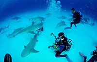 Lemon_sharks, underwater_photographers, Negaprion brevirostris, Bahamas, Grand Bahama Island, Atlantic
