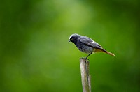 Garden_red_tail, Phoenicurus phoenicurus, squab, animal, bird, throttle, flycatchers, red_tail, redstart, song_bird, sitting, posts, nature, side_view...