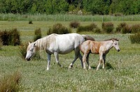 Camargue horse and foal. The Camargue horse Equus caballus may date back to Paleolithic times, with legs and hooves adapted to life in salt marshes. T...