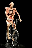 Plastinated body exhibit, cycling pose. The technique of plastination conserves dead bodies by replacing water and fat with plastic. The technique pre...