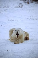 polar bears, arctic, animal