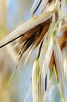 Common Wild Oat, Avena fatua