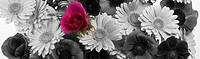 Anemone, Anemone coronaria, Arrange, Arrangement,