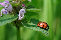 Animals, day, coccinella, Austria, alfred (thumbnail)
