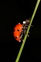 Animals, black, beetle, austria, alfred (thumbnail)