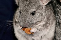 pet, alfred, animals, chinchilla, chinchillidae