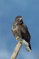Bussard, bussarde, europe, falconiformes, birds of prey, raptor, maeusebussard (thumbnail)