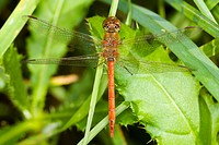 dragonfly, animal, dragonflies, blutrote, animals, alfred