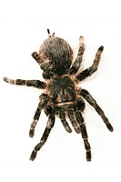 Close-up, animals, CLOSE, black, araneae, alfred (thumbnail)