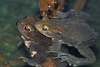 brown, bufo, animals