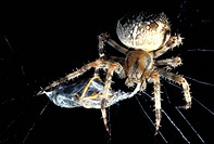 arachnid, brown, black, araneae, animals