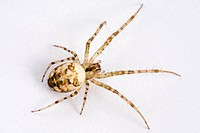 freigestellt, alfred, animal, animals, arachnid, autumn spider