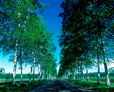 Roadside trees road of white birch