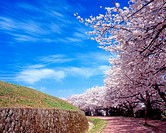 Roadside trees road of cherry blossoms