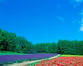 Flower field and blue sky Poppy and the lavender