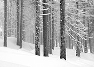 Cold, conifer, conifers, day, dieter, forest (thumbnail)