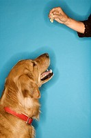 Golden Retriever dog looking at hand with treat