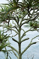 Lahala tree by the water in Maui, Hawaii, USA