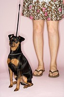 Caucasian woman legs with Miniature Pinscher dog on leash against pink background