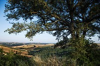 Large oak tree growing in Tuscany, Italy, with rolling hills in background (thumbnail)