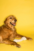 Golden Retriever dog with rawhide bone
