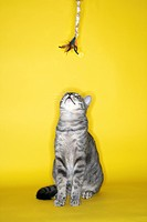 Gray striped cat looking up at toy on yellow background