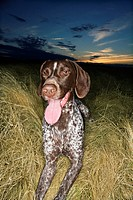 German Shorthaired Pointer with panting tongue in field at sunset