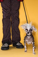 Chinese Crested dog on leash standing next to man's legs