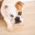English Bulldog sitting on wood floor looking up at viewer