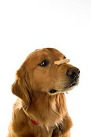 Golden Retriever dog balancing treat on nose