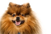 Pomeranian dog portrait