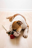 English Bulldog lying on floor sniffing long_stemmed red rose
