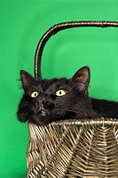 Black fluffy cat in basket