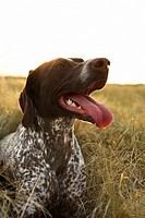 German Shorthaired Pointer with panting tongue in field