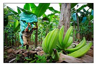 Banana plantation in Armenie, Colombia