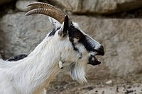 capra hircus, alpenzoo, innsbruck, austria, europe
