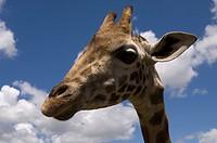 rothschild giraffe, giraffe manor, nairobi, kenya, africa