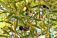 olive marchigiane, marche, italia