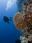 Diver observing Giant sea fan Annella mollis. Ras Za'atar, Ras Mohamed National Park, Ras Za'atar, Red Sea, Sharm El Sheikh, South Sinai