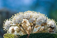 Dipsacales, flowers, flora, Runzelblaettriger Schneeball, garden, viburnum, adoxaceae