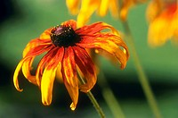 bluetenstempel, austria, balcony, black_eyed Susan, bloom, blossom, botany