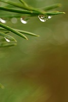 Detail, pines, pine, moist, humidity, humid (thumbnail)