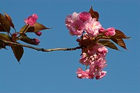 fruehlingserwachen, alexandra, bloom, blooms, branch, buss