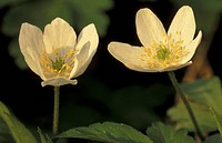 anemone, blossom, blooms, bloom, abloom