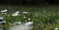 spring, bellis, flower, blumenwiesen, flower meadow, grass, asteraceae