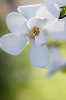 bloom, flower, spring, hope, magnolia, nature, plant