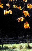 weide, austria, autumn, autumn_like, back light, branch, calf